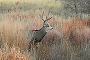 Trophy mule deer buck in grassland habitat.