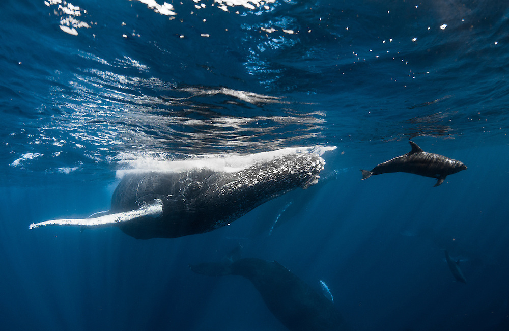 Bottlenose dolphins (Tursiops truncatus) ride the bow wave of humpback whales (Megaptera novaeangliae).