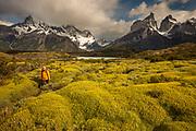 Cuernos del Paine peaks, trekker walks on trail beside thorny 'matabarrosa' ( Mulinum spinosum) in flower, Parque Nacional Torres del Paine, Patagonia, Chile.
