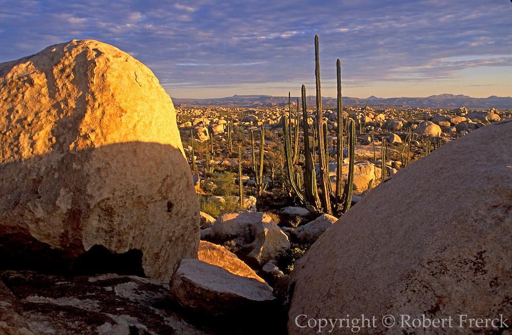 MEXICO, BAJA CALIFORNIA Central Desert, with Giant Cardon cactus