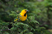 Yellow Oriole (Icterus nigrogularis)<br /> BONAIRE, Netherlands Antilles, Caribbean<br /> HABITAT & DISTRIBUTION: Open woodland, scrub and gardens. Colombia, Venezuela, Trinidad, the Guianas and parts of northern Brazil and Bonaire.