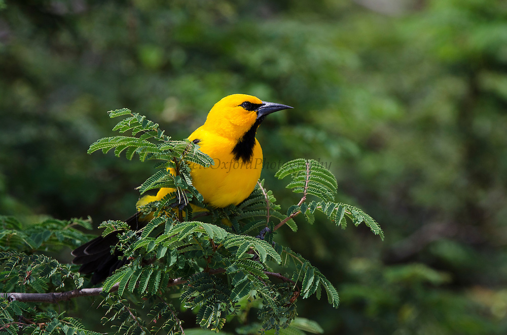Yellow Oriole (Icterus nigrogularis)<br /> BONAIRE, Netherlands Antilles, Caribbean<br /> HABITAT & DISTRIBUTION: Open woodland, scrub and gardens. Colombia, Venezuela, Trinidad, the Guianas and parts of northern Brazil and Bonaire.