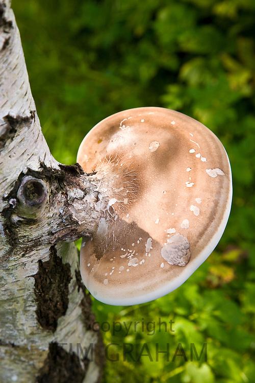 Fungus growing on silver birch tree, Oxfordshire, England, United Kingdom