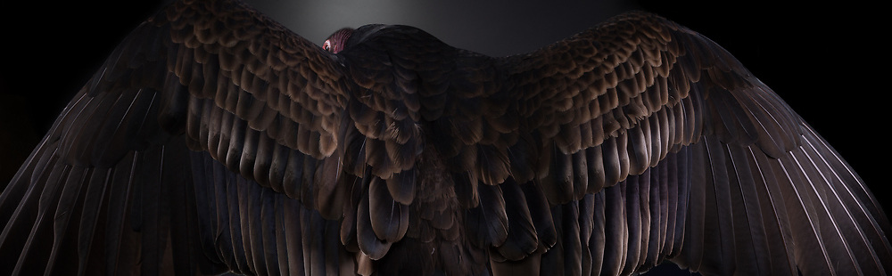 Turkey Vulture (Catharses aura). Handsome displays his amazing plumage.