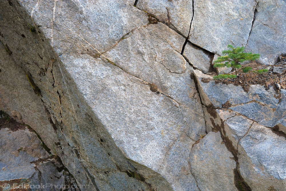A subalpine fir grows on a small amount of accumulated dirt on a cracked rock face in Mount Rainier National Park, WA, USA