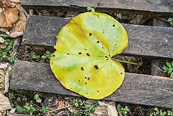 Large Round Leaf