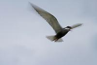 Whiskered Tern, Chlidonias hybrida, Lake Skadar National Park, Montenegro