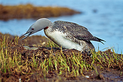 Red-throated loon nesting in Ivvavik National Park