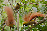 Goldie's Bird of Paradise.<br />