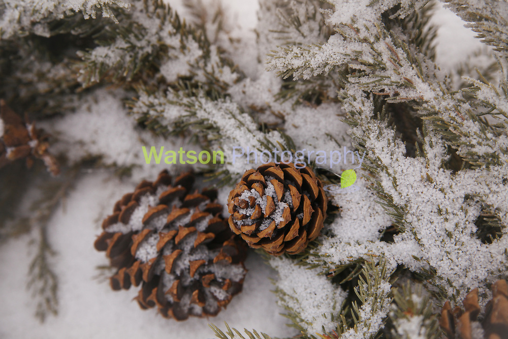 Dusted Pine Cones