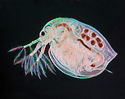 The water flea (Daphnia magna) is commonly found in fresh water. Water fleas are filter feeders that ingest algae, protozoan, or organic matter. The dark spots inside the animal are eggs. This image was created using the Rheinberg illumination technique.