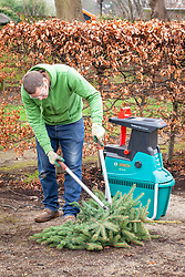 Shredding a Christmas tree using a shredding machine wearing protective gloves and glasses