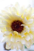Calendula officinalis 'Double White Shades' - pot marigold
