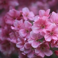 """Pink Blossom Abundance"""