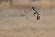 A Short-Eared Owl (Asio flammeus) flies over a field in the Skagit Valley of Washington state. The Short-Eared Owl has one of the widest distributions of any bird, found on all continents except Australia and Antarctica.