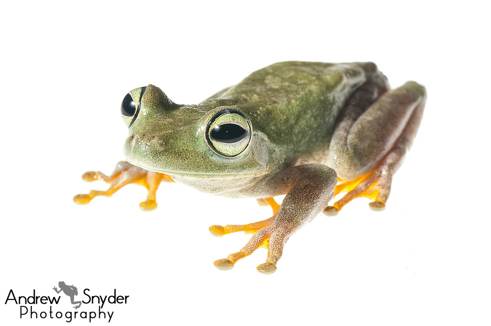 Emerald-eyed tree frog, Hypsiboas crepitans, Iwokrama, Guyana, July 2013