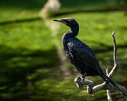 Cormorant sitting on a branch soaking up the sun, Blue Springs State Park, Florida.