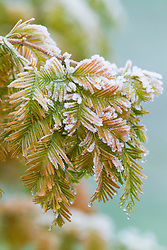 Frost on the foliage of Metasequoia glyptostroboides 'Gold Rush' - Dawn redwood