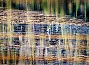 Heron in Reflection Lakes, Mt. Rainer National Park, Washington State