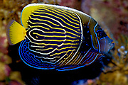 Emperor Angelfish, Pomacanthus imperator. Subadult specimen about to change to adult colours.