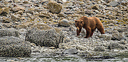 Our first grizzly spotting was this beautiful sow foraging along the shoreline.