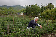 Local farmer tends crops in a fertile field on his smallholding, located on the slopes of the Vesuvius volcano, seen in the distance which last erupted in 1945.