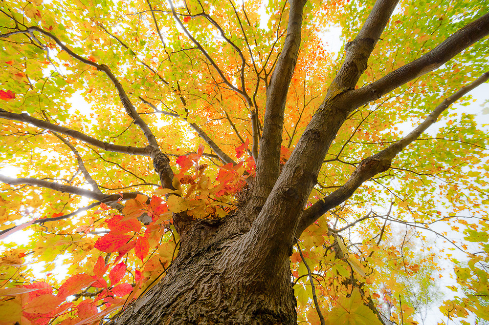 Maple tree (Acer species) and autumn vine leaves, morning light, October, Emmet County, Michigan, USA