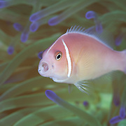 Pretty pink anemonefish with mouth open