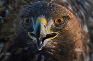 Portrait of a Golden Eagle bird, Aquila chrysaetos, adult male, eating in Kalvtrask, Vasterbotten, Sweden