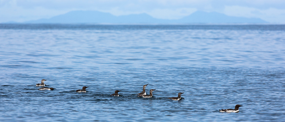Endangered species Common Guillemot or Common Murre colony of adult and juvenile seabirds, Uria aalge, of the auk family (part of the order Charadriiformeson) by Isle of Canna part of the Inner Hebrides and Western Isles in West Coast of Scotland