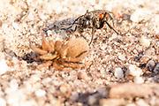 Spider hunting wasp (Anoplius viaticus?) with paralysed spider prey on heathland. Arne, Dorset, UK.