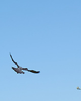 Rock Pigeon (Columba livia). Southampton, England. Image taken with a Nikon N1V1 camera and 30-110 mm VR lens.