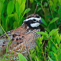 An adult male northern bobwhite (Colinus virginianus) walks amongst the vegetation on the Big Meadow, Shenandoah National Park, Virginia.