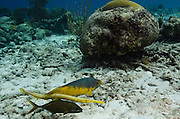 Spanish Hogfish (Bodianus rufus), Trumpetfish, (Aulostomus maculatus) & Bar Jack (Caranx ruber)<br /> BONAIRE, Netherlands Antilles, Caribbean<br /> HABITAT & DISTRIBUTION: Reefs<br /> Florida, Bahamas, Caribbean, Gulf of Mexico, Bermuda & south to Brazil.