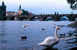 CZECH REPUBLIC BOHEMIA PRAGUEAUG97 -  Swans gather in front of Charle's Bridge on Prague's Small Side. ..jre/Photo by Jiri Rezac. . © Jiri Rezac 1997. . Tel:   +44 (0) 7050 110 417. Email: jiri@jirirezac.com. Web:   www.jirirezac.com
