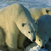 Polar Bear, (Ursus maritimus) Portrait of mother and cubs. Churchill, Manitoba. Canada.