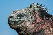 Marine Iguana (Amblyrhynchus cristatus) <br /> Black Beach, Floreana Island<br /> Galapagos<br /> Ecuador, South America<br /> ENDEMIC TO THE ISLANDS<br /> Breeding colors, December