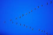 """Canada geese flying in """"V"""" formation - Mississippi"""
