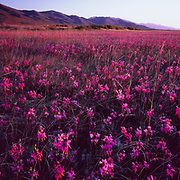 Shooting Stars and the Ruby Mountains at Dawn, Ruby Lake National Wildlife Refuge, Nevada