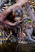 A juvenile orangutan (Pongo pygmaeus) drinking water from a riverbank, close-up, Borneo, Indonesia