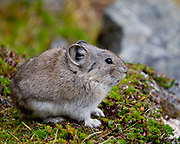 A collared pika sits outside of the burrow entrance.