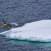 Two Adelie penguins rest on a piece of sea ice while a killer whale surfaces nearby in Cape Green, Antarctica.