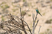 Green Bee-eater (Merops orientalis) on a branch, These birds are widely distributed across sub-Saharan Africa from Senegal and the Gambia to Ethiopia, the Nile valley, western Arabia and Asia through India to Vietnam. Photographed Negev Desert, Israel in March
