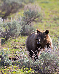 Grizzly Bear Cub, a one year old grizzly in the morning sun in Grand Teton National Park