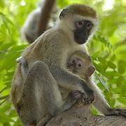 Vervet monkey (Cercopithecus aethiops) Mother with baby near Samburu Intrepids Camp in tree. Kenya. Africa.
