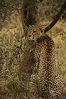 A Cheetah rests in the shade in the Serengeti National Park, Tanzania