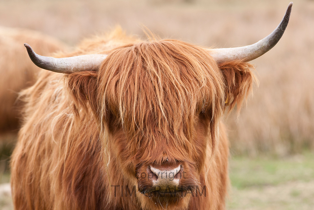 Brown shaggy coated Highland cow with curved horns on Bodmin Moor, Cornwall