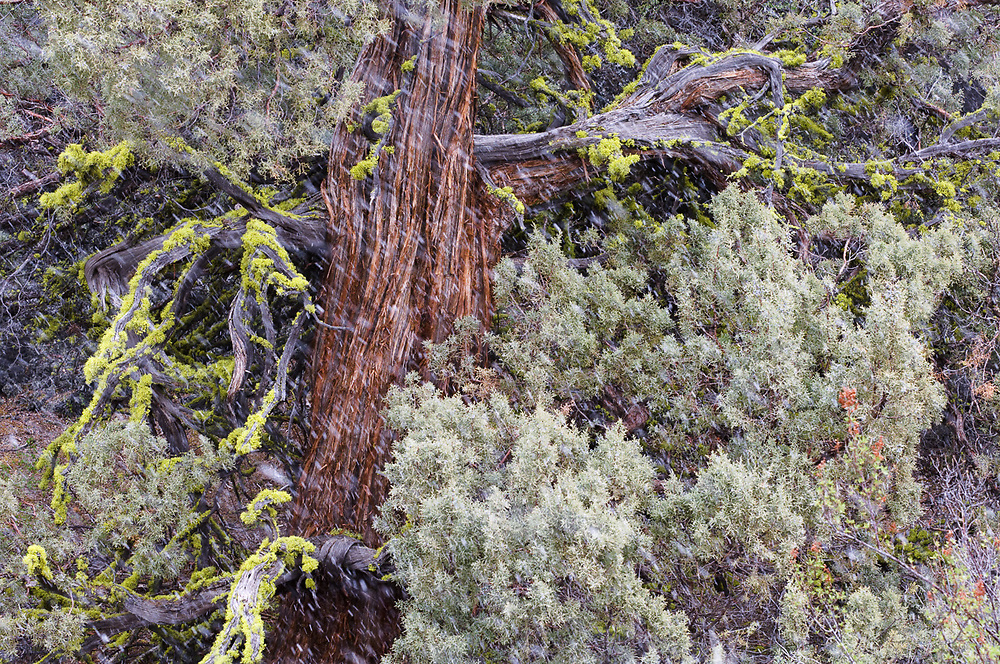 Western juniper tree (Juniperus occidentalis) with lichen on limbs, overcast light, snow flurry, April, Lava Beds National Monument, California, USA