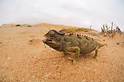 Wuestenchamaeleon (Chamaeleo namaquensis) | Namaqua Chamaeleon (Chamaeleo namaquensis) Namib Desert sand dune; shot digital: 14,03inch x 9,317inch at 300 Pixel\inch