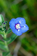 ROCK SPEEDWELL Veronica fruticans (Scrophulariaceae) Height to 20cm. Attractive and distinctive perennial with stems that are woody and hairless at the base. Grows on rock ledges, at high altitudes in mountains. FLOWERS are 10-15mm across, the corolla 4-lobed and deep blue with a reddish centre; borne in open, few-flowered terminal clusters (Jul-Sep). FRUITS are flattened, elliptical and hairy capsules with a long projecting style. LEAVES are oval, unstalked and slightly toothed. STATUS-Rare and restricted to a few locations in the Scottish Highlands.